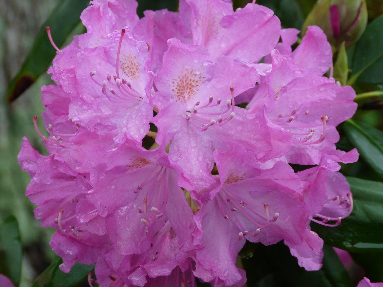 2016 April - Spring flowers, Rainy morning, Irises, Garden, Blog 012